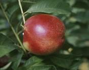 Red Gold nectarine