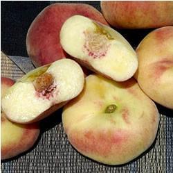 Donut Peach - Prunus persica 'donut'