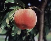 Red Globe Peach - Prunus persica 'Cresthaven'
